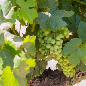 Vintage 2014 Grapes