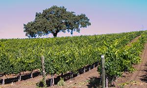 Stoplman Vineyard