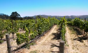 Melville Vineyard