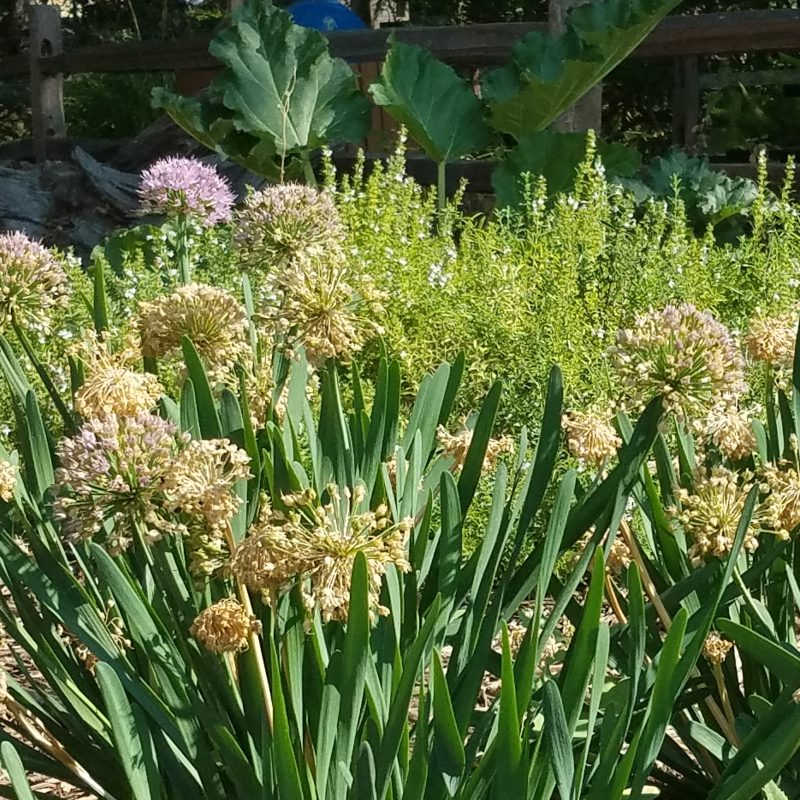Garlic flowering at the French Laundry Culinary Gardens Yountville
