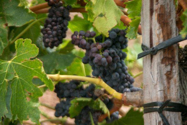 Grapes in Veraison Viansa