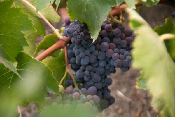grapes on the vine, August 2017, Crushed Grape Chronicles