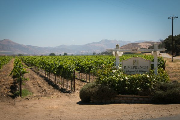Vines at Riverbench planted in 2014 Santa Barbara County Santa Maria AVA