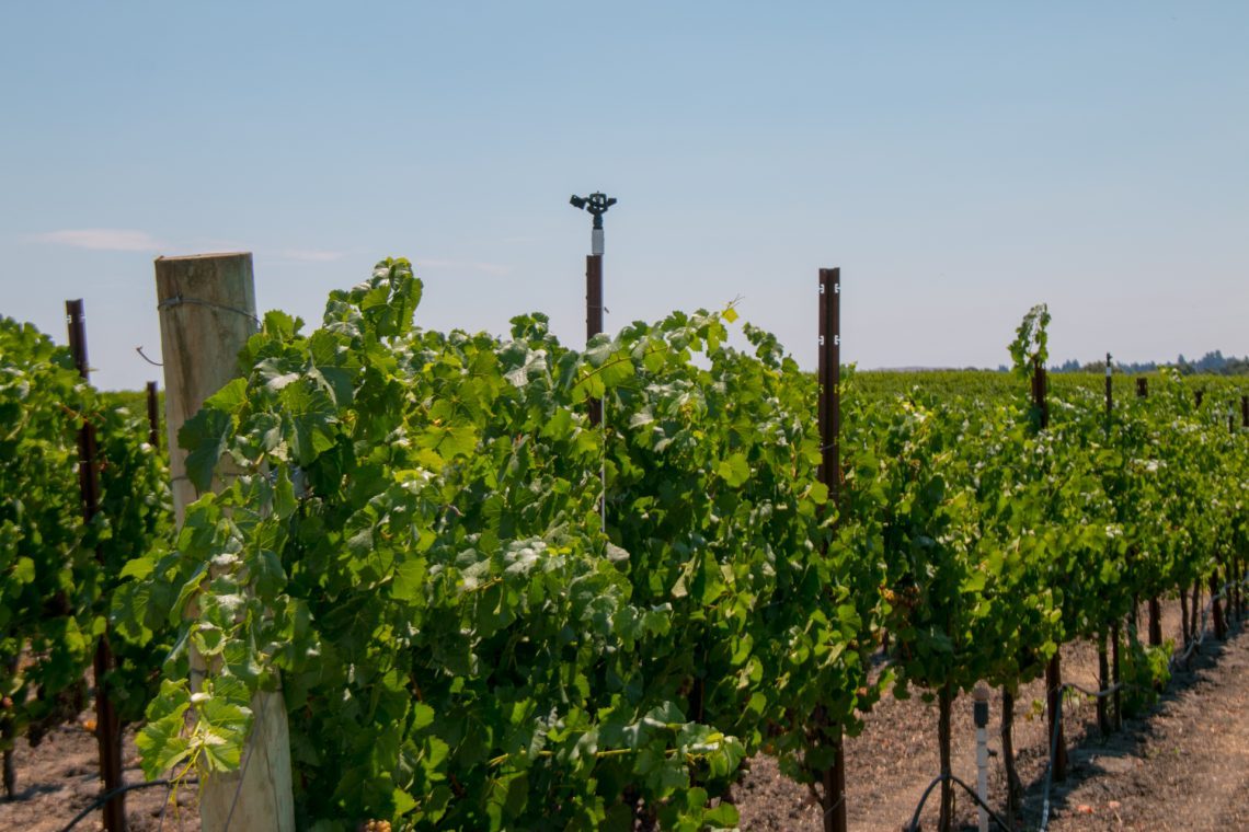 Balleto Winery, Sprinkler head in Vineayrd