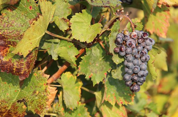 Gamay grapes in Beaujolais