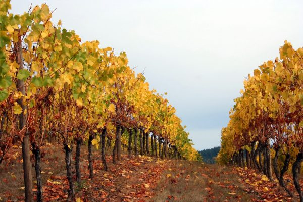 Autumn colored rows in vineyard