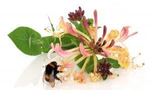 honeysuckle with bee
