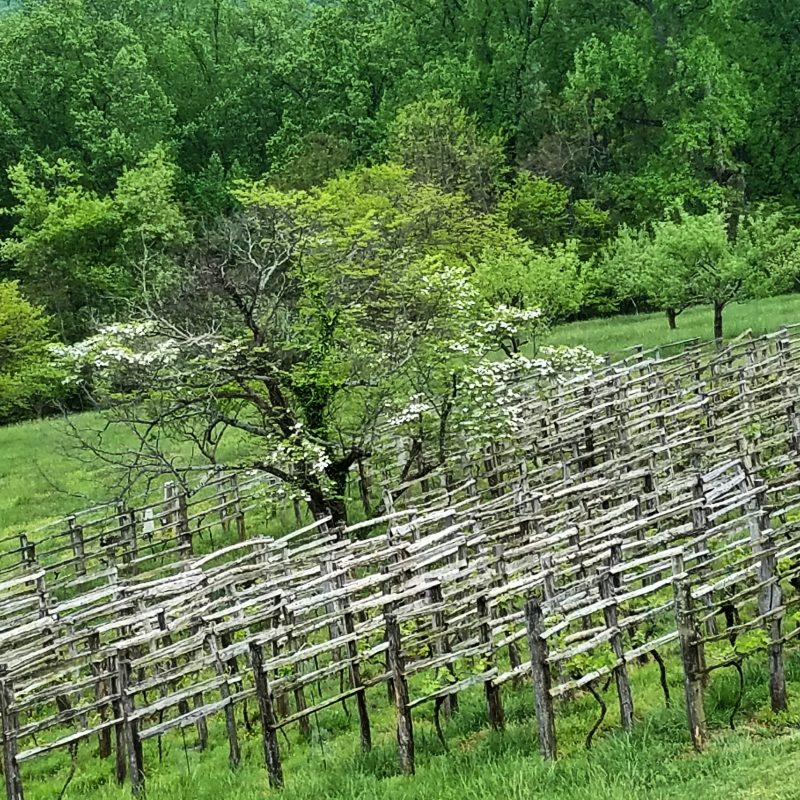 Vineyards at Monticello