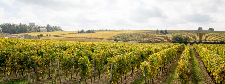 Panorama french vineyards landscape vines near Bordeaux