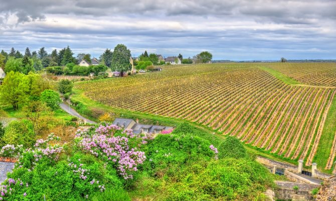 Vineyard in Chinon Loire Valley France