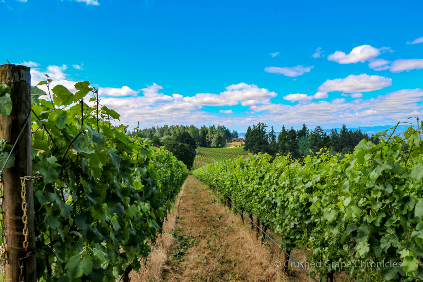 Vista Hills Vineyard, grape Vines