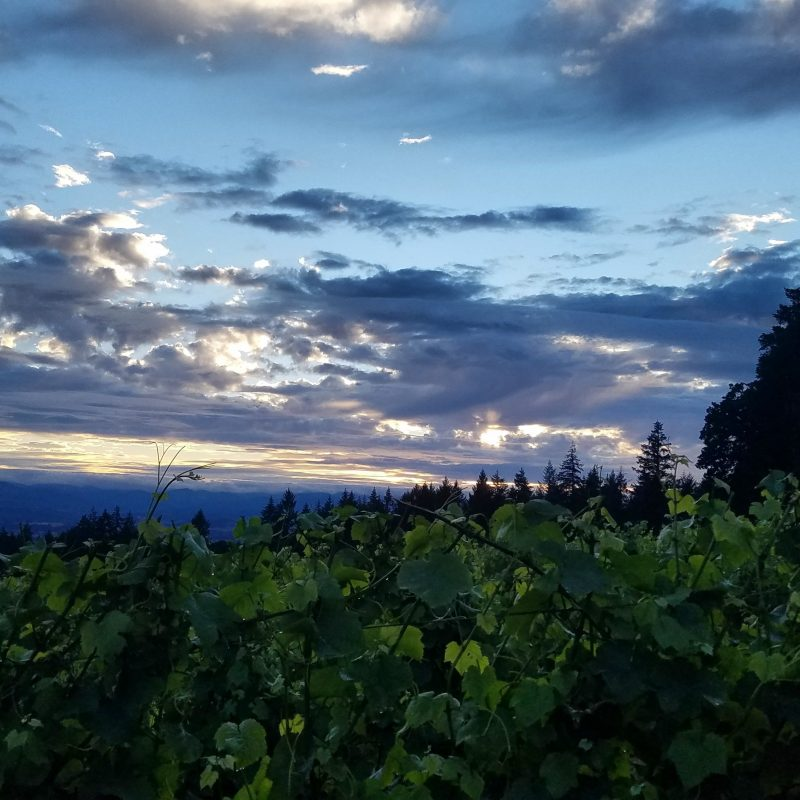 Sunset over the vines at Vista Hills Vineyard in the Dundee Hills