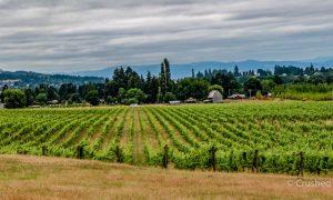 Montinore Vineyards panorama