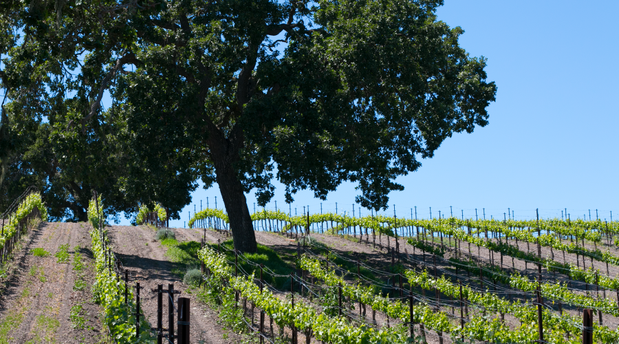 Wine Country, Santa Babara Beckmen Vineyard
