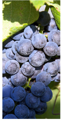 grape grapes
