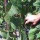 Hilliard Bruce Vineyards – Part 3: Canopy Management, Wines & Philosophy.