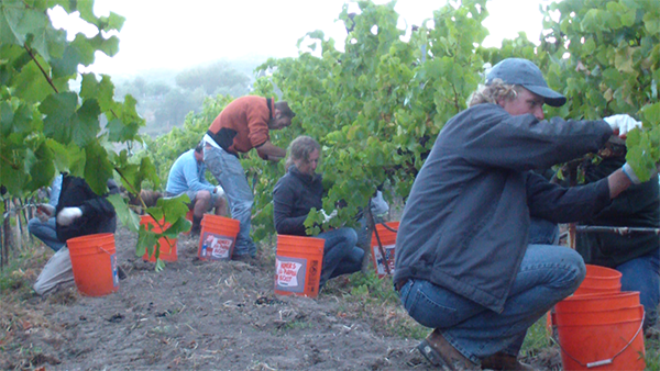 Picking Pinot Noir at Clos Pepe