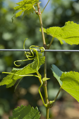 Green-grape-leaves