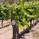 The Syrah Clones at Larner Vineyards