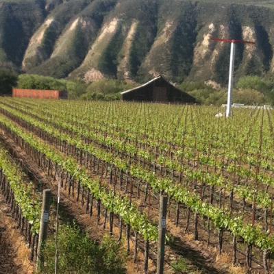 Fiddlehead Grape Vines