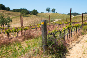 Biodynamics & Regenerative Agriculture in Wine Production, Tablas Creek Vineyards, Paso Robles, Central Coast Wine Country