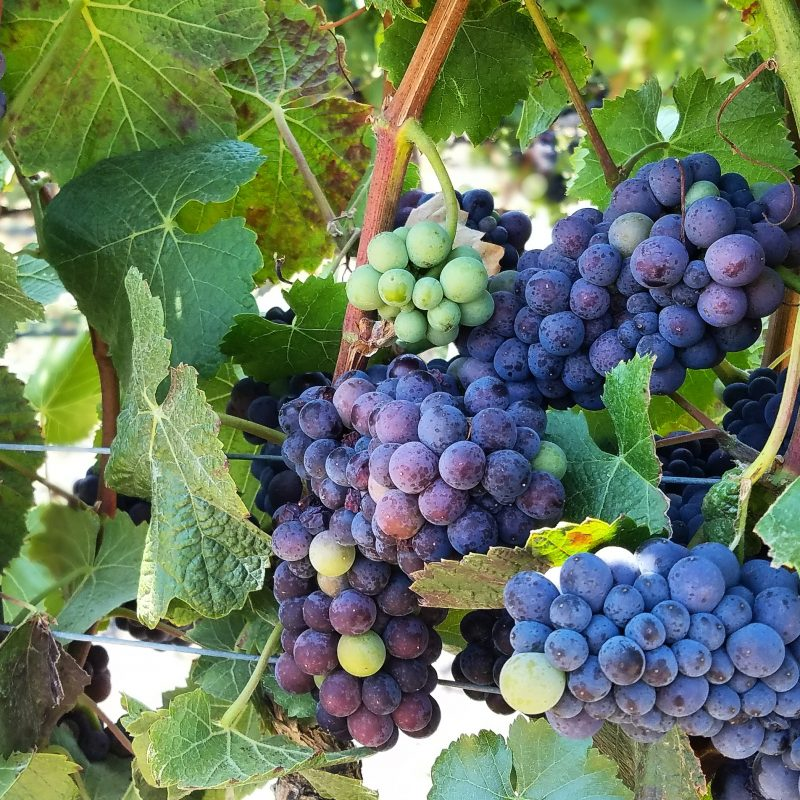Veraison Balletto Vineyard Sonoma Russian River Valley North Coast