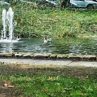 Ducks on the pod at Sonoma Plaza