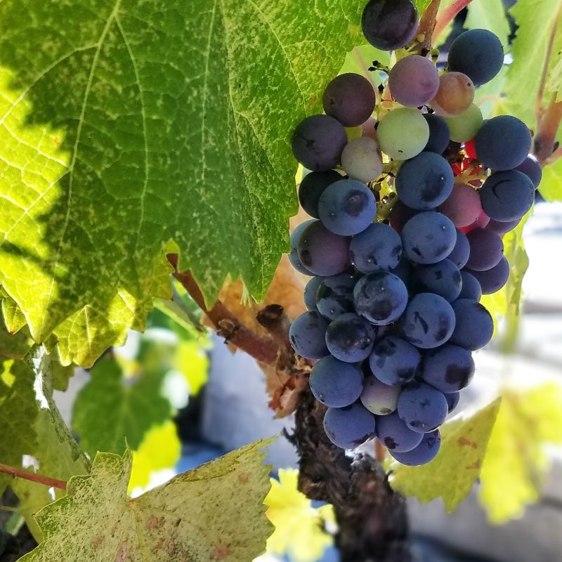 Mourvedre ripening at Tablas Creek