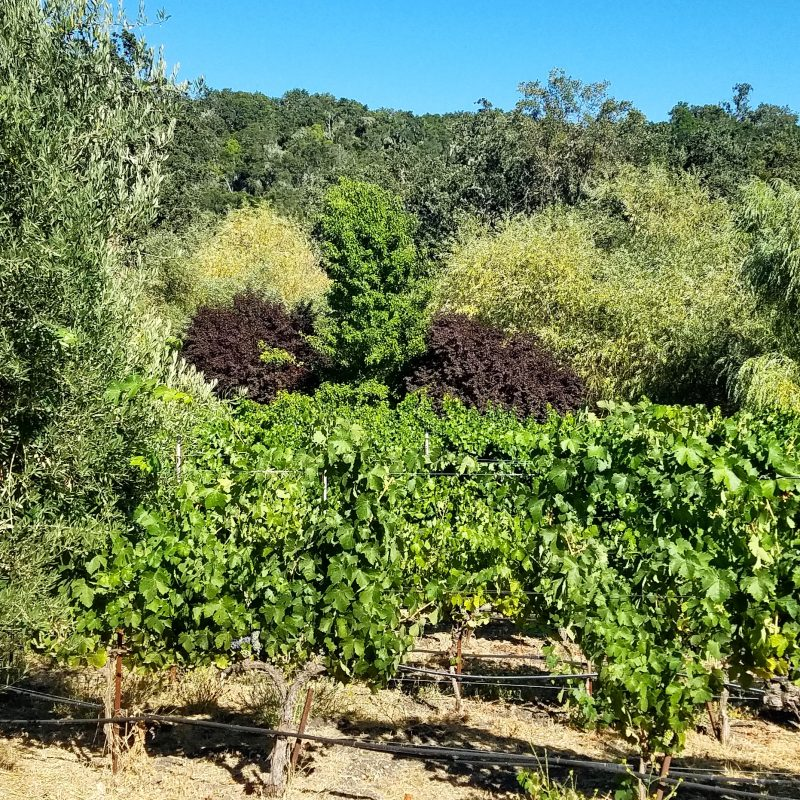 Vineyards at Tablas Creek recently certified as Regenerative Organic