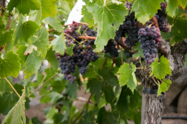 grape clusters hanging on vines
