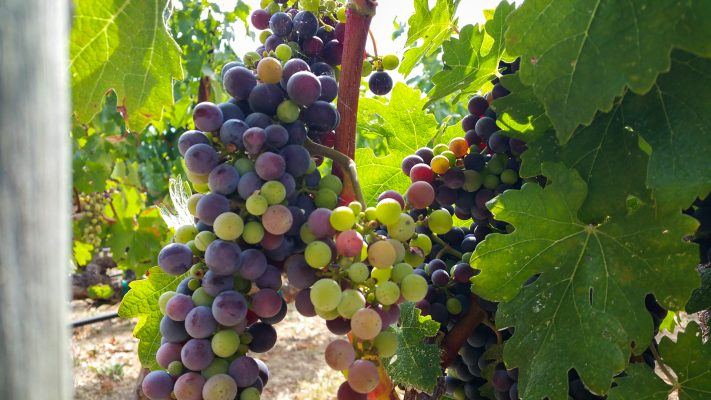 Veraison grapes going through the process. Crushed Grape Chronicles