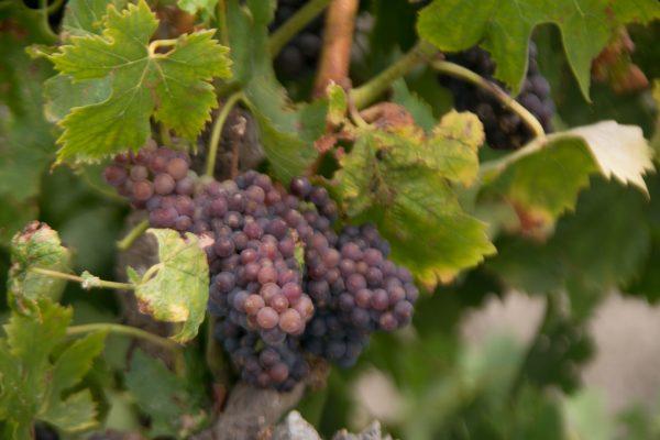 Grapes in Veraison