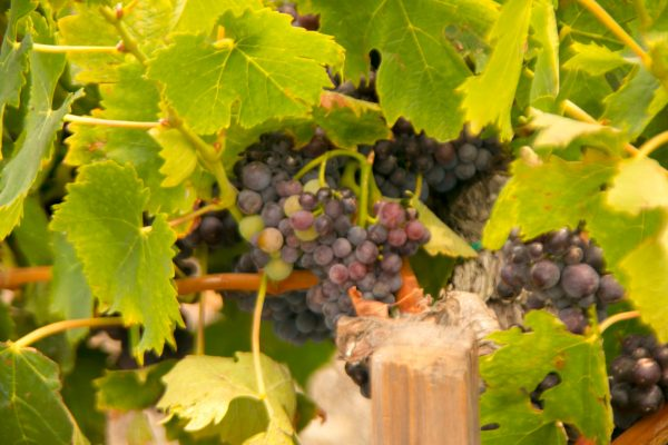 Grapes in Veraison, wine travel