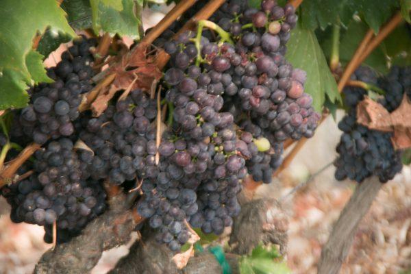 Grapes in Veraison Viansa Winery