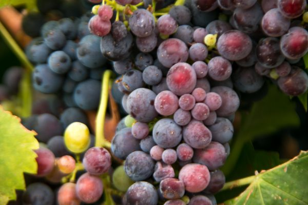 Grapes in Veraison close-up