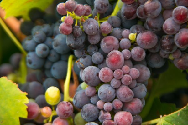 a closeup shot of grapes in veraison, Crushed Grape Chronicles