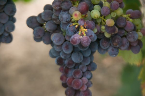 grape Cluster, turning through veraison