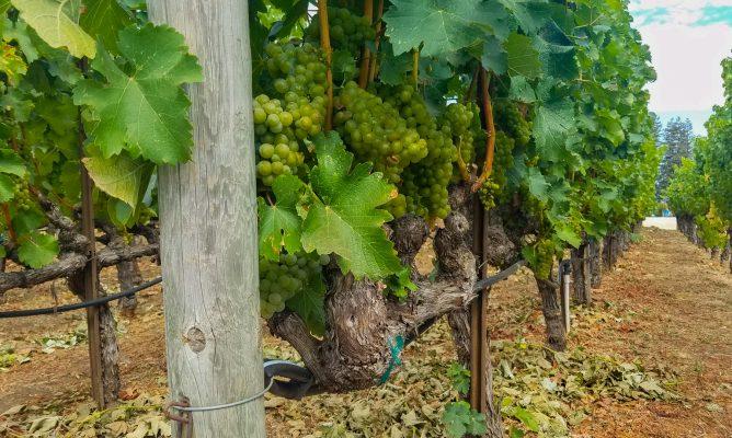 Robert Mondavi, Napa Valley, CA Grapes