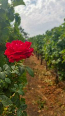 Robert Mondavi, Napa Valley, CA vineyard