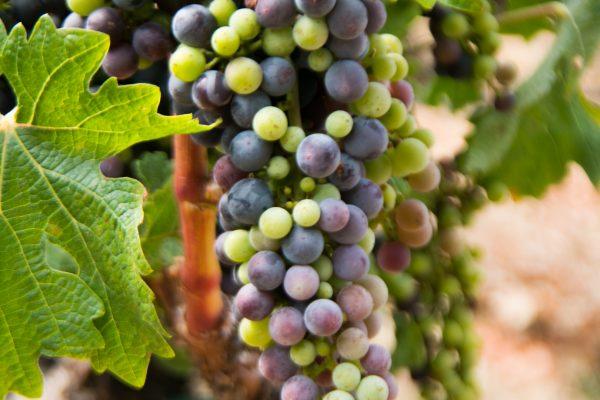 Robert Mondavi, Napa Valley, CA Grape Cluster