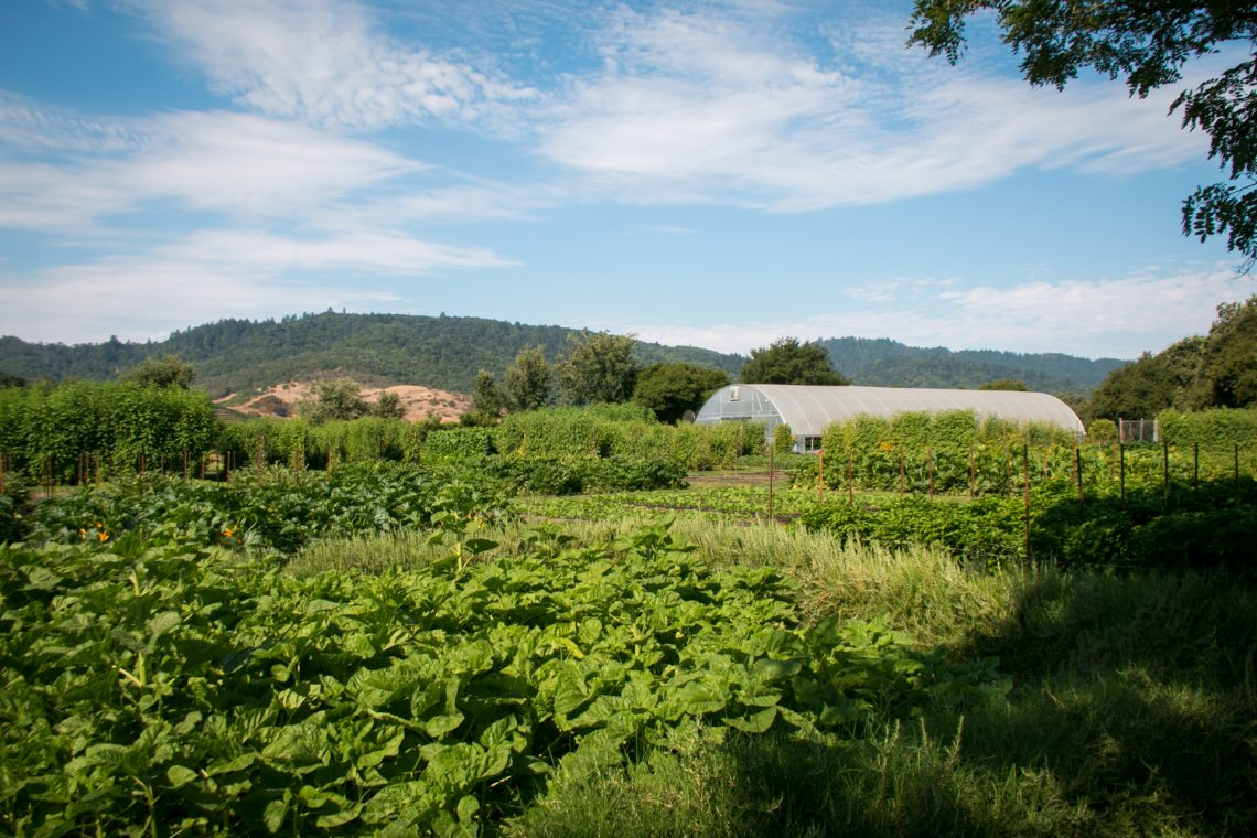Blue skies and Lush Greens at the French Laundry Culinary Gardens