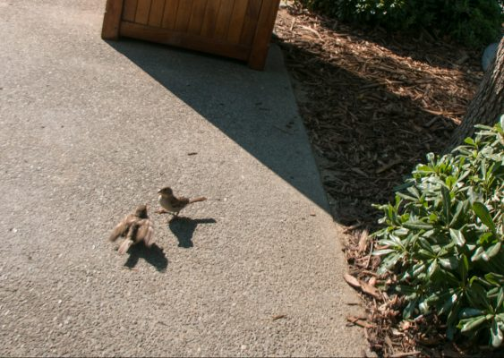 Sparrow feeding a baby bird at Bouchon bakery Yountville