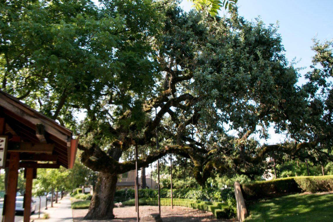 Large Oak Tree Yountville