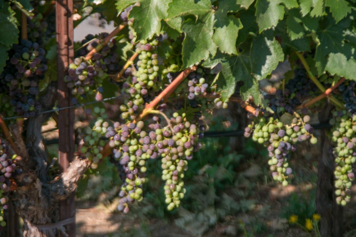 Grapevines along the street in Yountville