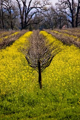 Grapevines and mustard growing in California's Napa Valley