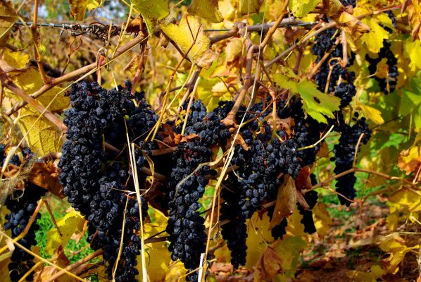 Grenache-Grapes,-McLaren-Vale