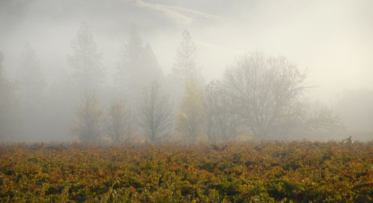 Misty Morning at a California Vineyard