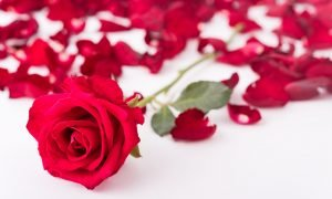 Red rose and rose petals