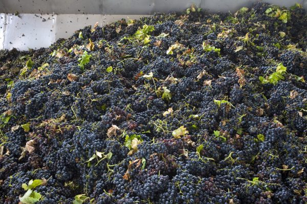 collection-tank-after-the-harvest-of-grapes-ready-for-crushing