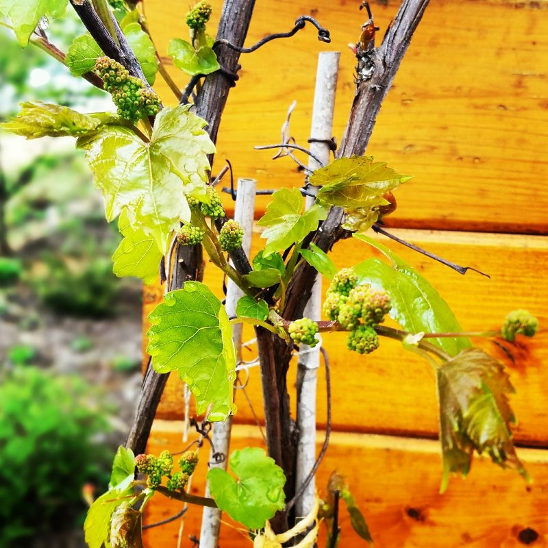 Norton Grape Vine at Chrysalis Tasting Room